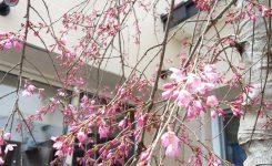 ハウス中庭の桜
