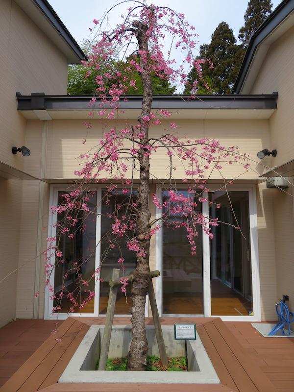 パンダハウスの枝垂れ桜